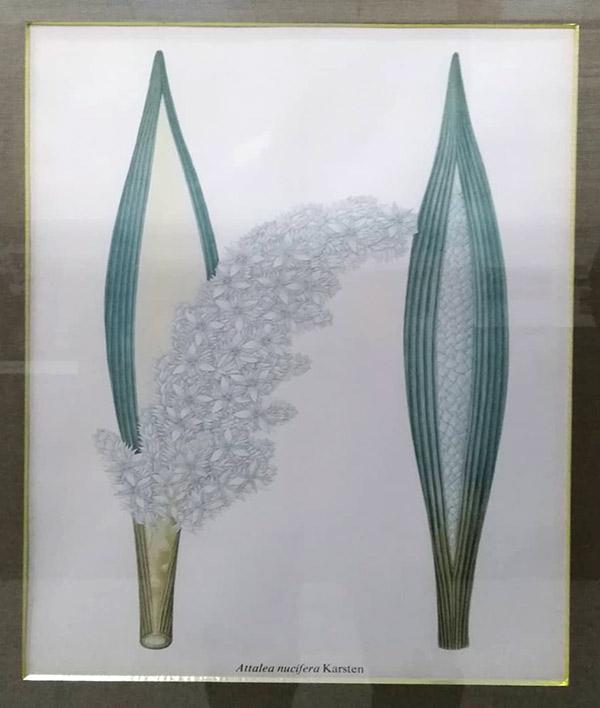 Flora colombiana de Karnsten